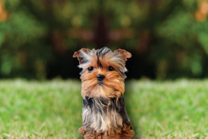 contact-precious-puppies-for-yorkshire-terrier-puppies