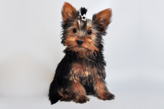 yorkshire terrier adoptions toronto